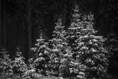 Xmas Tree Family (Pascal Riemann) Tags: schnee deutschland baum winter langenberg sauerland sw natur pflanze germany nature schwarzweis snow bw blackandwhite einfarbig monochrome plant
