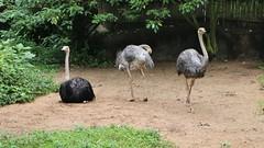 IMG_3406 (Pataclic) Tags: animal autruche birdpark jurong oiseau singapour