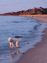 Sun Down Dog (ZoKë) Tags: bay sunset light capecod cornhill lagotto dog