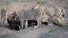 Lion's Feeding (Everyday Glory!!!) Tags: masaimara africa kenya safari gamedrive mara wildlife wild maasaimara maasai africanbuffalo buffalo capebuffalo