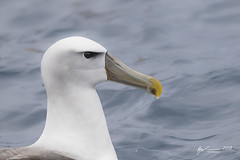 White-capped Albatross (R. Francis) Tags: whitecappedalbatross thalassarchecautasteadi ryanfrancis ryanfrancisphotography tasmania tassie tasmanpeninsula tas eaglehawkneck continentalshelf