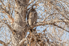 January 5, 2019 - Great Horned Owl pair in Thornton. (Tony's Takes)