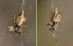 Trashline Orb Weaver (Cyclosa, Araneidae) spider (Treebeard) Tags: trashlineorbweaver cyclosa araneidae spider sanmarcospass santabarbaracounty california