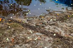 São Gabriel da Cachoeira-AM (Johnny Photofucker) Tags: sãogabrieldacachoeira am amazonas amazon amazônia brasil brazil brasile farfalla borboleta borboletas butterfly butterflies rionegro lightroom natureza natura nature 24105mm