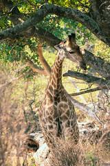 Need More Grub! (thisbrokenwheel) Tags: africa lowersabie safari mammal sabieriver wildernesspreserve krugerpark wildlifephotography wildlife travel nature southafrica giraffe knp conservation sanparks reticulatedgiraffe