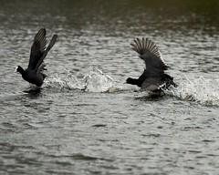 Meerkoeten in achtervolging. ✋ (d50harry123) Tags: meerkoet coot bird waterbird d750 naturephotography nature