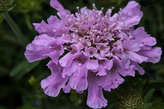 Garden Smith G1 Scabiosa Pincushion flower ERN_7965.jpg (st peters gardens armidale) Tags: 2018 scabiosa community plants australia gardenweekend towngarden theboulevarde northerntablelands newengland eudicot events places flowering pincushionflower dipsacales church nature magnoliophyta phanerogamae garden magnolopsida plant alpine macro flora opengardens armidaleregion plantae life gardenweekendflickr nsw armidale angiospermae caprifoliaceae dicot