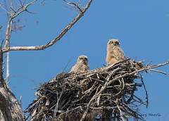 Great Horned Owl Babies (rosemaryharrisnaturephotography) Tags: greathornedowlbabies greathornedowl owl florida babyowls rosemaryharris canoneos7dmk11 canon400mmf56usmlens tree sky blue nest owlnest nature bird park wildlife raptor coth5 ngc coth alittlebeauty npc fantasticnature