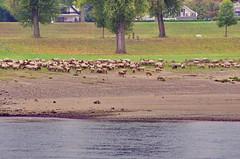 33 Dusseldorf octobre 2018 - des moutons au bord du Rhin le matin (paspog) Tags: dusseldorf düsseldorf allemagne germany deutschland rhin rhein rhine octobre october oktober 2018 rivière fleuve river fluss mouton sheep moutons