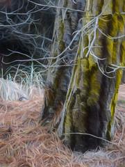 Two Trees Too Close (Steve Taylor (Photography)) Tags: pinetree needles digitalart brown black green grey newzealand nz southisland canterbury christchurch grass tree bark branch trunk texture autumn woods