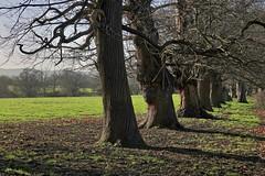 Sturdy Avenue (Deepgreen2009) Tags: avenue trees sturdy row trunks rural light sunshine bark old