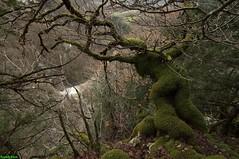Arbre de forme humaine - Nans Sous Sainte Anne (francky25) Tags: arbre de forme humaine nans sous sainte anne franchecomté doubs nature insolite