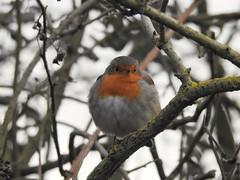 Robin (Simply Sharon !) Tags: robin bird wildlife britishwildlife nature thryberghcountrypark january