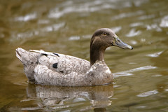 D85_2671_DxO-EditWeb (Kevin James54) Tags: greenfieldlake nikond850 tamron150600mm wilmington animals avian bird duck kevingianniniphotocom