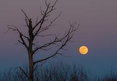 Super Blood Moonrise (Mark Polson) Tags: supermoon blood wolf rise sunset sax zim bog tree pastels