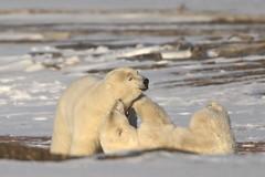 Sub-adult (3-4 year old) bears playing (gainesp2003) Tags: polar bear wild wildlife alaska kaktovik ursus maritimus