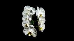 Contrastante beleza (Parchen) Tags: orquídea orquídeas flor flores floração cacho bela bonita beleza linda contraste contrastante contrastado fundonegro fundoescuro fundo negro escuro preto fundopreto branca brancas orquídeasbrancas iluminação luz claro luznatural florbranca floresbrancas alvas foto fotografia imagem registro natural natureza vaso parchen carlosparchen flutuante suspensa flutuação suspensão