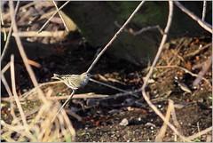 Erlenzeisig (Carduelis spinus) ♀ (Maggi_94) Tags: zeisig finken fink fringillidae vogel vögel bird birds siskin erlenzeisige carduelisspinus singvögel singvogel passeri weibchen female