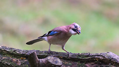 Jay (Alan Pamler) Tags: jay pentaxk3ii tamronspaf70200mmf28dildifmacro thornleywoods bird wildlife