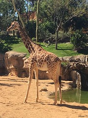 Jirafa de Rothschild (MarisaTárraga) Tags: españa spain valencia bioparc zoo jirafaderothschild animal sabana naturaleza nature iphone6s verde green agua water arbol tree ngc