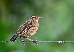 Sturnella militaris (mazama973) Tags: bird oiseau frenchguiana guyane guyanefrançaise icteridae sturnellamilitaris sturnellemilitaire redbreastedmeadowlark