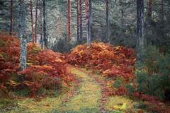 Pines and Ferns (jorgeverdasca) Tags: landscape woodland forest autumn goth ferns pines nature gerês portugal