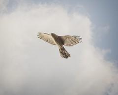 Cooper's hawk (Goggla) Tags: centralpark coopershawk nyc new york manhattan central park urban wildlife bird raptor accipiter coopers hawk immature