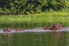 ALTRO GRUPPO DI IPPOPOTAMI     ----    ANOTHER GRUP OF HIPPOS (Ezio Donati is ) Tags: animali animals mammiferi acqua water fiume river foresta forest natura nature alberi trees westafrica costadavorio fiumebandama taiboitien