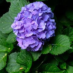 More hydrangea (Sal Tinoco) Tags: blue flora flower green hydrangea hydrangeas leaf nature outside petal purple fantasticflower