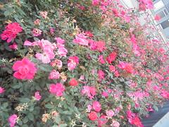 926 (en-ri) Tags: roselline little roses bush cespuglio verde foglie leaves