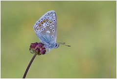 Common Blue (nigel kiteley2011) Tags: commonblue butterflies blue lycaenidae polyommatusicarus
