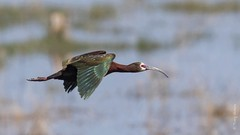 White-faced Ibis (Plegadis chihi) (Tony Varela Photography) Tags: canon ibis photographertonyvarela plegadischihi wfib whitefacedibis ibisflight