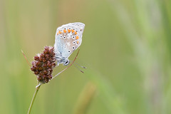 P'tit bleu écossais (Explored 2019-01-22) (Gisou68Fr) Tags: papillon butterfly commonblue argusbleu ecosse scotland