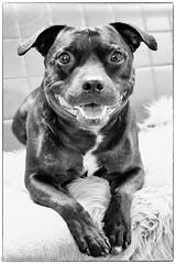 4th Birthday photo (aixcracker) Tags: staffordshirebullterrieri staffi staffy bullterrier nikond500 dog hund koira november marraskuu bw sv mv blackwhite svartvit mustavalkoinen portrait