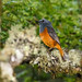 Forest Rock Thrush (Monticola sharpei), male