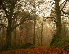 Mossy Buttresses & Twisted Beech (EmPhoto.) Tags: misty forest exmoor autumn uk emmiejgee landscapepassion sonya7r