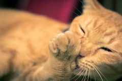 """GUD NITE HOOMANS!"" 😼 (stratman² (busy-taking care of Joey)) Tags: canonphotography eos7dmarkii ef50mmf18ii littlejoey orangecats oreengenesses naranja gato kitteh neko kucing comel tabby moggie domesticshorthair felinephotography iso16000"