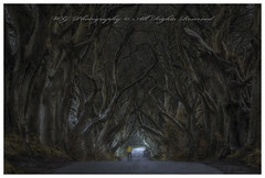 """""""A light at the end of a tree Tunnel"""" (W.G. Photography) Tags: dark hedges trees countyantrim northernireland nature natural alley landscape"""