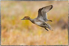Northern pintail, Female (RKop) Tags: raphaelkopanphotography nisquallynwr d500 200500mmf56edvrzoom washington