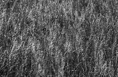 Golden (noname_clark) Tags: chapungu outdoors blackandwhite wheat gold