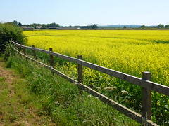 Yellow Field (Wookey Hole) Tags: somerset rapeseed yellow field agriculture farming fence