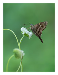 Longtail Skipper (wwarby) Tags: centralamerica costarica longtailskipper abroad animal bordered butterfly favourites flower holiday holiday2018costarica insect nature outdoors plant vacation wild wildlife