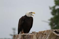 IMG_1447 (Stefan Kusinski) Tags: hemsley duncombe ncbp birdofprey