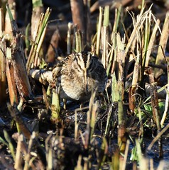 Jack snipe (Lancs & Lakes Outback Adventure Wildlife Safaris) Tags: d7200 600mm bird camouflage jacksnipe snipe wader leightonmoss rspb reeds nikon tamron