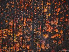 Arbres d'automne (Quentin Douchet) Tags: aisne flore forêt france hautsdefrance nature aerialview arbre automne autumn drone flora forest foret forêtdesaintgobain landscape paysage tree vueaérienne