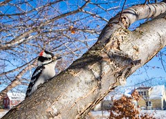 Alert Downy #downywoodpecker (A.B.B) Tags: downywoodpecker