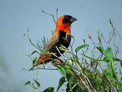 Southern Red Bishop / Red Bishop / Rooivink (Pixi2011) Tags: birds rietvleinaturereserve southafrica africa nature