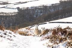 Sheepish (Justsha2) Tags: canon 77d animal sheep sn exmoor