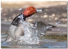 Redhead Duck (Betty Vlasiu) Tags: redhead duck aythya americana bird nature wildlife