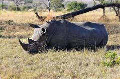 DSC_8163 còpia (SLVA49) Tags: arboles tronco paja tierra hierva seca pajaro rinoceronte nikon d300s